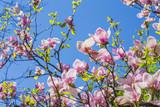 Magnolia blooms in spring