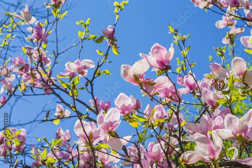 Fotobehang Magnolia Magnolia blooms in spring