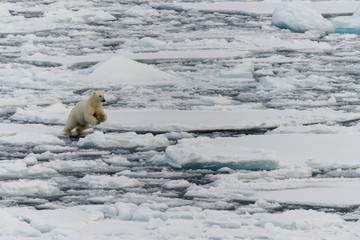Polar bear jumping