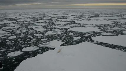 Polar bear lying down on an ice floe