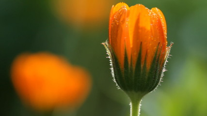 Blossom Flower of calendula and sunlight