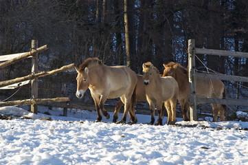 Urwildpferde im Winter / Tierpark Langenberg