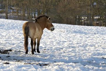 Mongolischer Wildpferde Hengst im Schnee