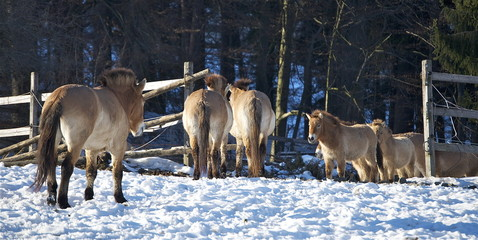 Mongolische Urwildpferde im Tierpark