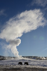 Erupting geyser and bison