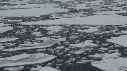 Polar bear standing on ice floe of the pack