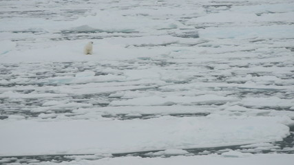Polar bear standing up on ice floe