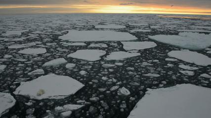Polar bear on an ice floe at sunset