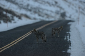 Two coyotes on a road in winter