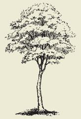 Big tree.Vector sketch
