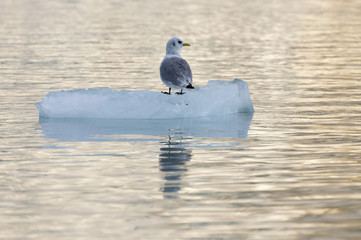 Seagull on an ice floe