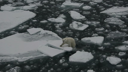 Polar bear getting onto an ice floe