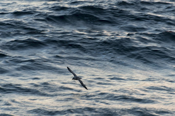 Flying seabird
