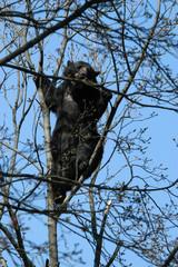Spectacled bear (Tremarctos ornatus) climbed up the tree.