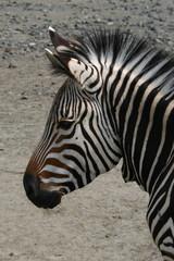 Hartmann's mountain zebra (Equus zebra hartmannae)..