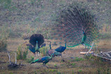 Male and female of Peacock(Pavo cristatus) spread his/her tai