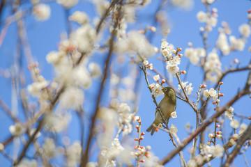 Japanese White-eye bird on plum tree