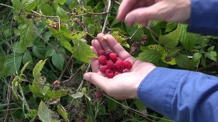 hands gathering fresh wild raspberry in summer forest