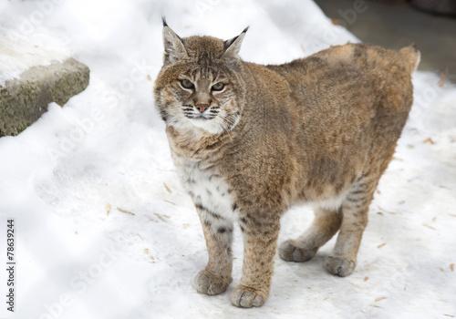 Staande foto Lynx Красная рысь