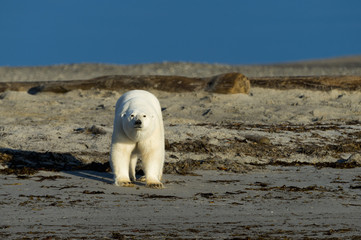 Polar bear on a beach