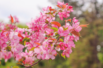 Pink flowers on branches in spring.