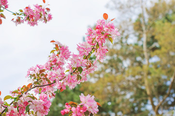 Pink flowers on branches.  Spring tree.