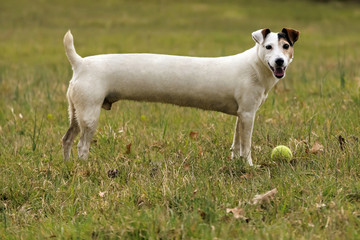 Long Jack Russell dog