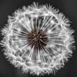 Dandelion head with seeds