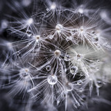 Fototapeta Puff-ball - Dandelion seeds with water drops © Elenathewise