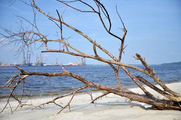 A fallen and decaying tree laying on the beach