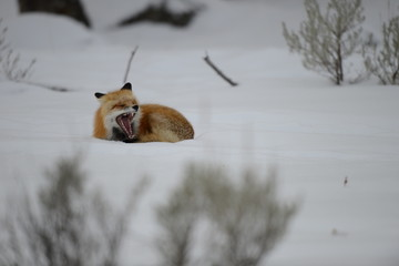 Fox lying in the snow