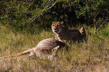 The Cheetah With Its Kill