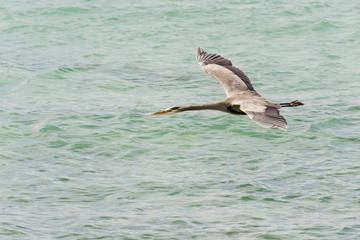 Blue black heron