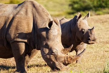 The White Rhinoceros (Ceratotherium simum)