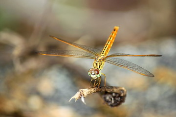 An orange dragonfly on a branch