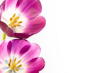 tulips isolated