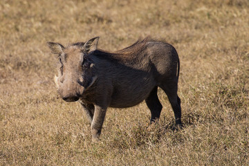 The Curious Young Warthog (Phacochoerus africanus)