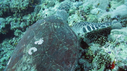 Hawksbill Turtle in the Red Sea