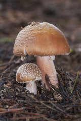 Amanita rubescens growing on the forest floor