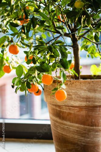 Fotobehang Bonsai Little orange tree in terracotta pot.