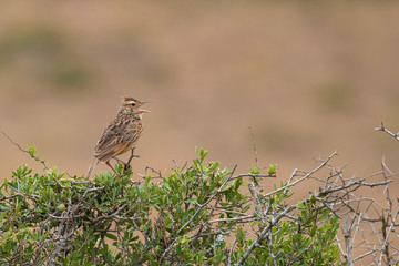 The Rufous Naped Lark (Mirafra africana) Singing In A Tree