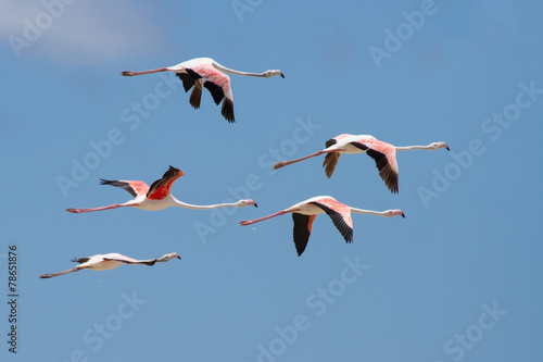 Foto op Aluminium Flamingo Flock of flamingos taking off from lagoon to fly away