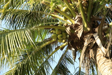 coconut fruits grow on tree