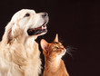 Cat and dog, abyssinian kitten , golden retriever looks at right - 78653681