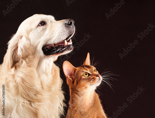 Leinwandbild Motiv Cat and dog, abyssinian kitten , golden retriever looks at right