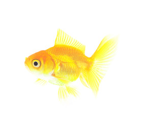 goldfish on a white background isolated