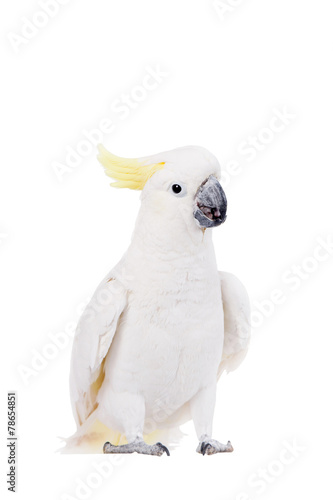 Tuinposter Papegaai Sulphur-crested Cockatoo, isolated on white