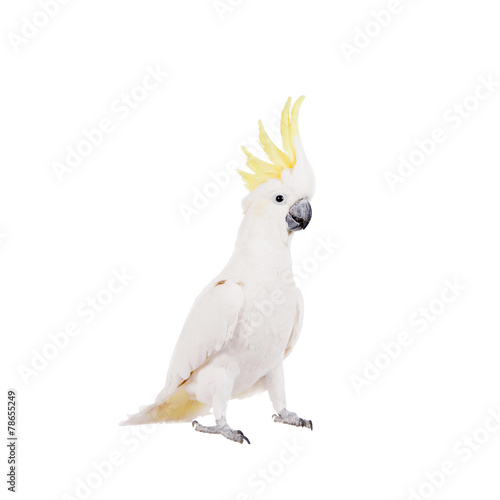 Fotobehang Papegaai Sulphur-crested Cockatoo, isolated on white
