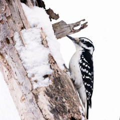 Female Hairy Woodpecker in Winter on White Background