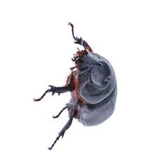 Beetle isolated on white background